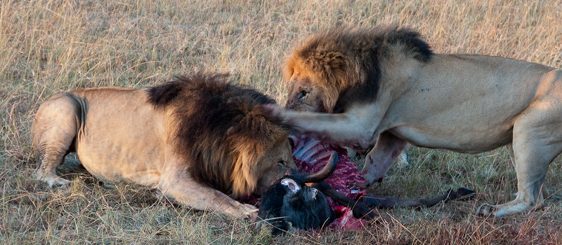 Males fight over Wildebeest in the Masai Mara