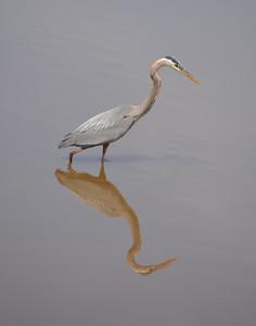 Heron Reflecting