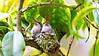 Rufous Hummingbirds Feeding