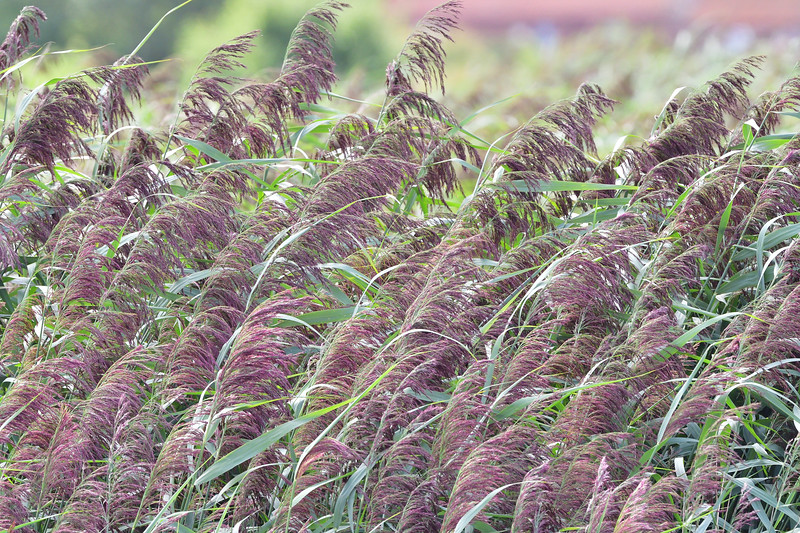 Reeds at Titchwell Marsh RSPB Reserve