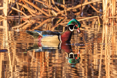 Reflective Wood Duck