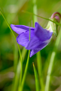 Common Blue Violet, Viola sororia