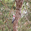 Galah Up High