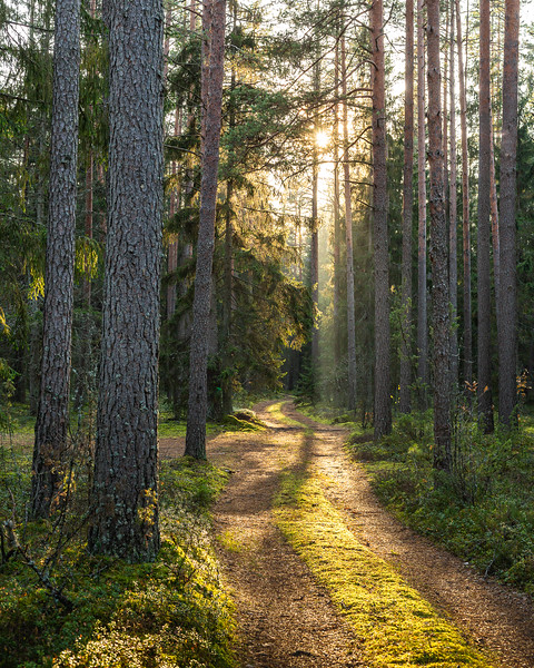 Mossy road into the woods on a sunny autumn afternoon wirh pine trees and sun rays in Latvia