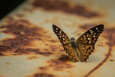 ButterflyRadnor Park NashvilleTN '18 LR-7262