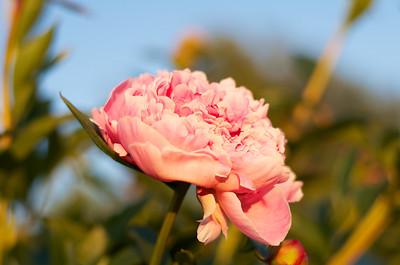 Karla's Rose