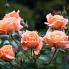 Roses from the Rose Gardens in Parmell