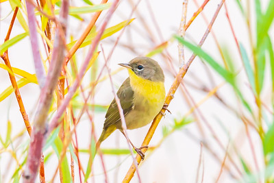 Common Yellowthroat Young Male