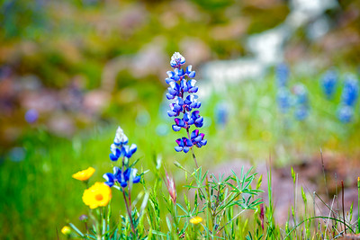 Lupins - Table Mountain-25