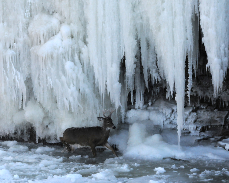 One of my most impact full photographic moments.  This deer was captured in January 2008 at Cataract Falls.