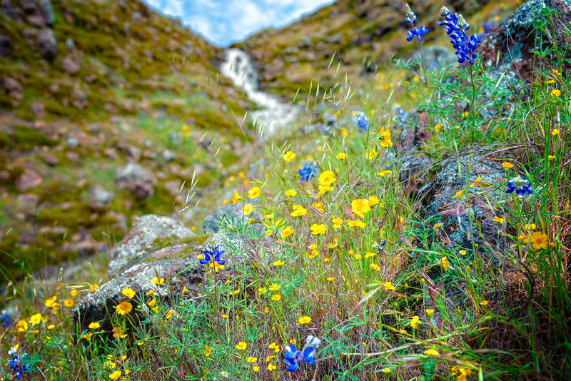 Lupins - Table Mountain-10