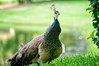 "ETC-3272  ""Wary Peahen"""