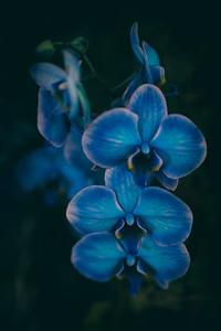 blue orchid flower