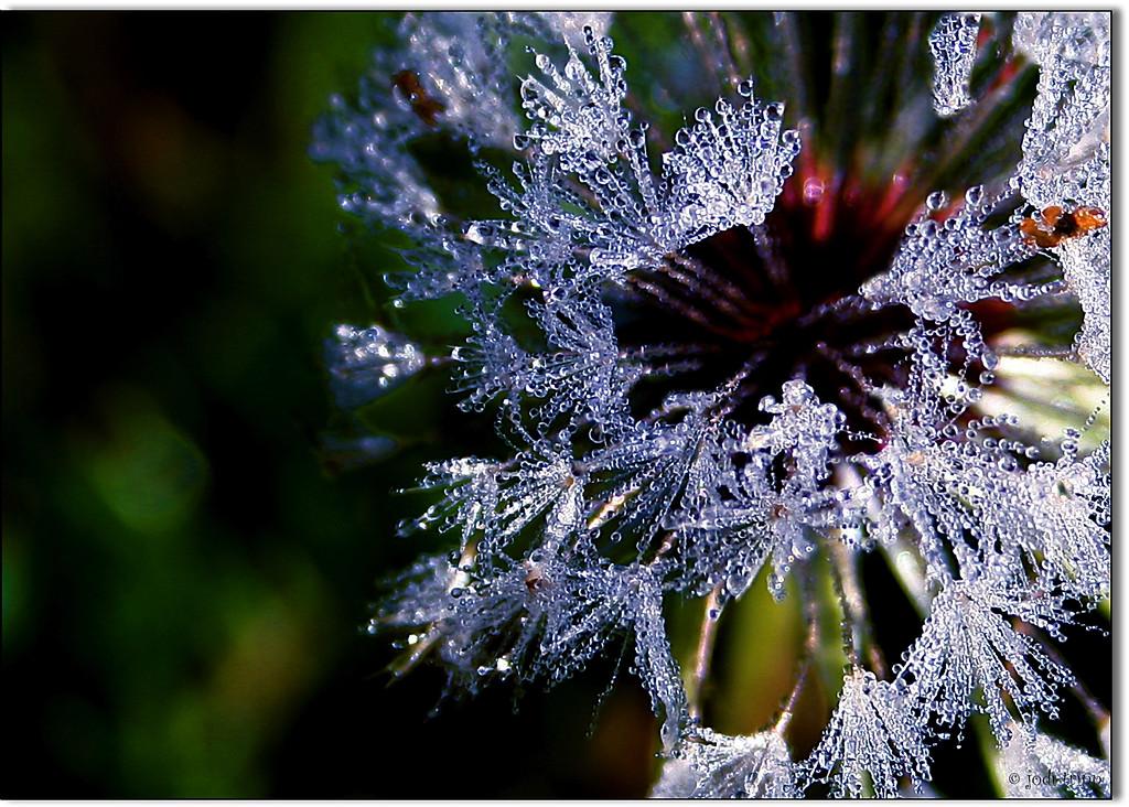 Dandelion Covered in Morning Dew