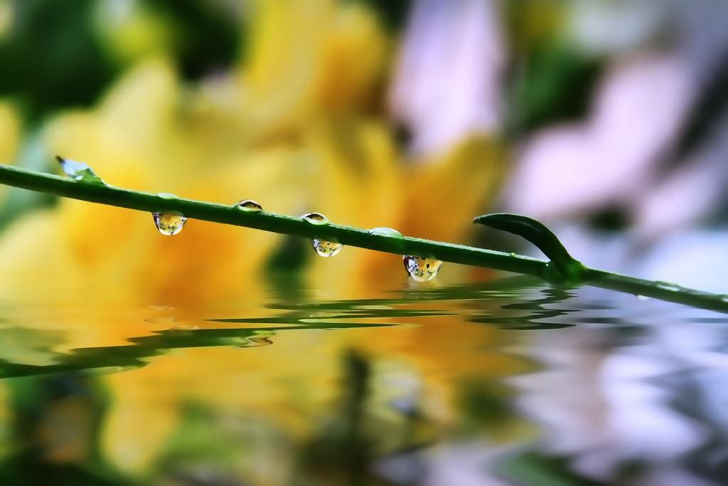 yellow lilys