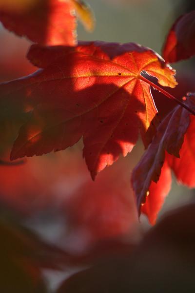 favine-maple-red-ktk-092406_M