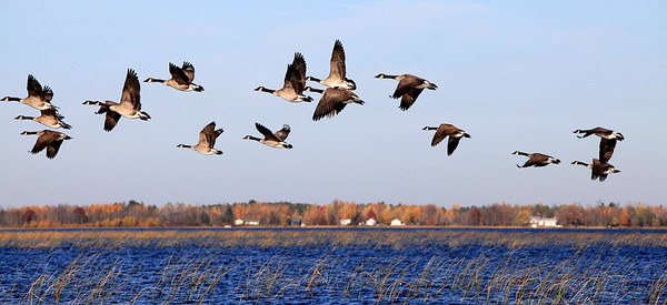 Geese take Flight ~ Liz Johnson