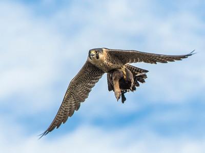Peregrine Falcon by Dave Warren   Score:  11