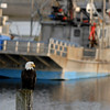The majestic bald eagle on a stump in a marina with fishing boats