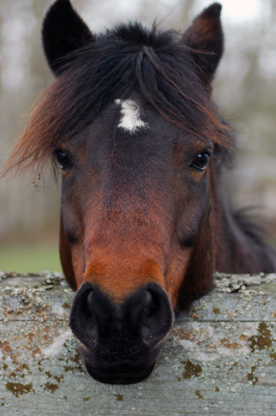 horse leaning over a fence in a farmer's field<br /> Professional Wildlife Photography by Christina Craft of the Nature Stock Photography Library