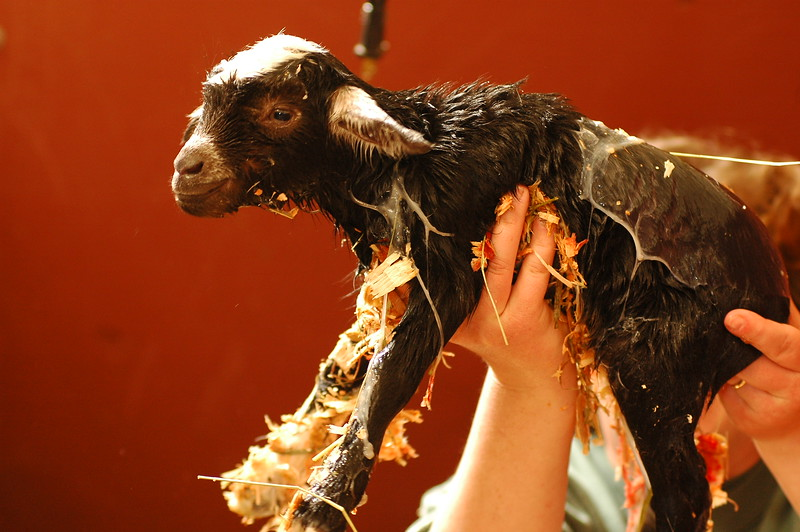 A newborn goat (about one minute old)