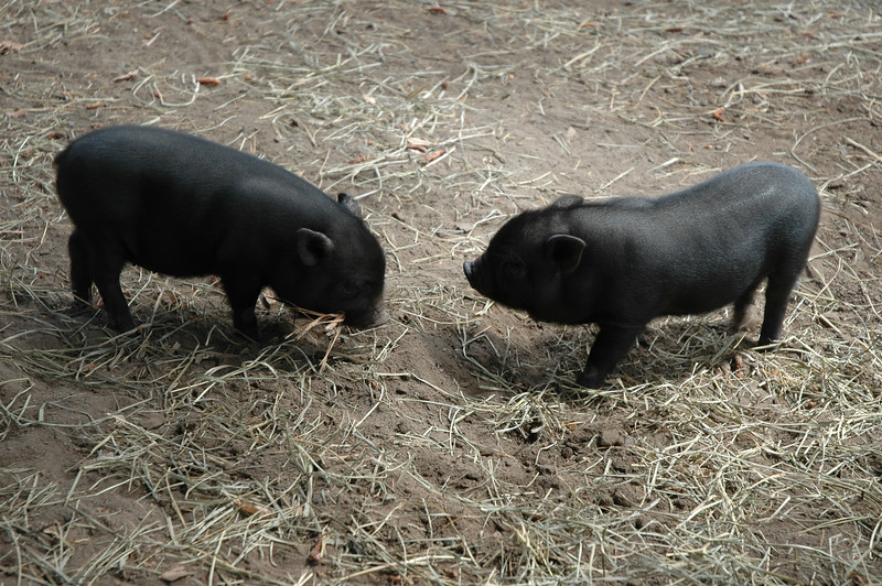 The pot-bellied pig is a breed of domestic pig originating in Vietnam. Considerably smaller than standard American or European farm pigs, most adult pot-bellied pigs are about the size of a medium- or large-breed dog, though their bodies are denser at a weight of around 200 lb (90 kg). Pot-bellied pigs can be easily discerned from other pig breeds by their size, their short snout, and their large pot belly. Most are predominantly black or grey in color.<br /> <br /> Because pot-bellied pigs are in the same species as ordinary farmyard hogs and wild boars, they are capable of interbreeding. Male pigs, called boars, and female pigs, called sows, become fertile at a young age, long before they are completely physically mature. Pot-bellied pigs are considered fully grown at 2-3 years of age.