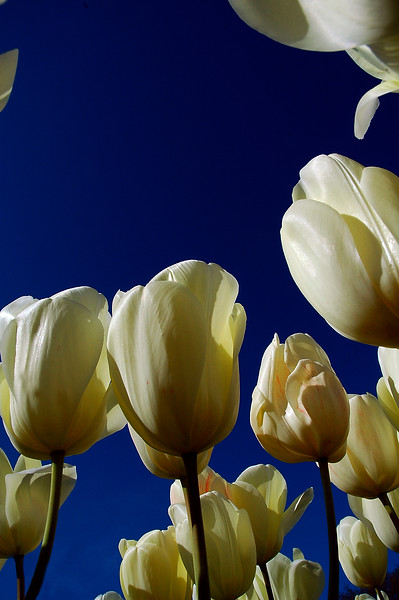 Tulips - looking up with wide angle camera - Nature Stock Photography Library
