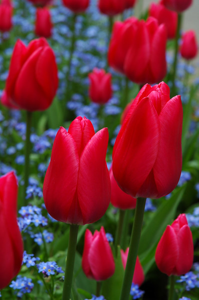 Garden Photography - Red Tulips - Nature Stock Image by Professional Nature Photographer Christina Craft - Nature Stock Photography Library