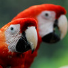 macaws_CCC0722