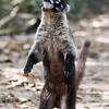 The name coati (pronounced [ko'??ti]) is applied to any of three species of small neotropical mammals in the genus Nasua, family Procyonidae, ranging from southern Arizona to north of Argentina. They are largely insectivorous, but also eat fruit. A fourth animal, the dwarf Mountain Coati, is not a true coati, and belongs to the genus Nasuella.<br /> <br /> Distinctive features of all species of coati include a long, ringed tail, which is often held erect.<br /> <br /> Unlike most members of the raccoon family, coatis are primarily diurnal.