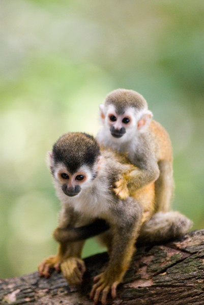 Wild monkeys - a mother and child in the jungle of Costa rica. Red-backed squirrel monkey (mono titi)