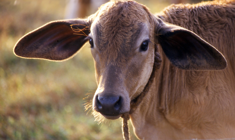 Costa Rican Cow<br /> Professional Wildlife Photography by Christina Craft of the Nature Stock Photography Library