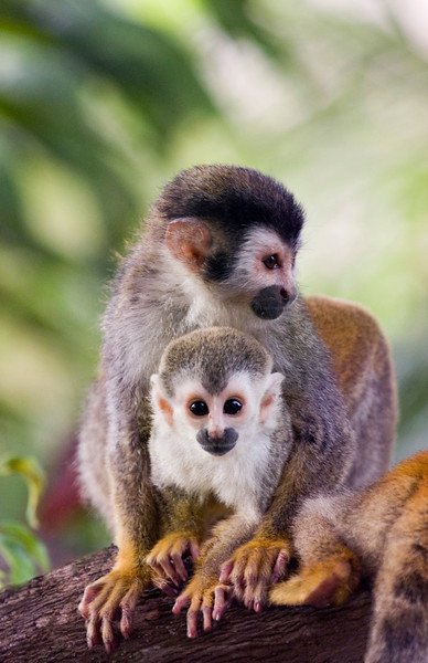 A red backed squirrel monkey with her baby (also called mono titi). These monkeys are rare and endangered with less than 1,000 left in the world. Costa Rican Wildlife photographed by a professional wildlife and nature photographer named Christina Craft.