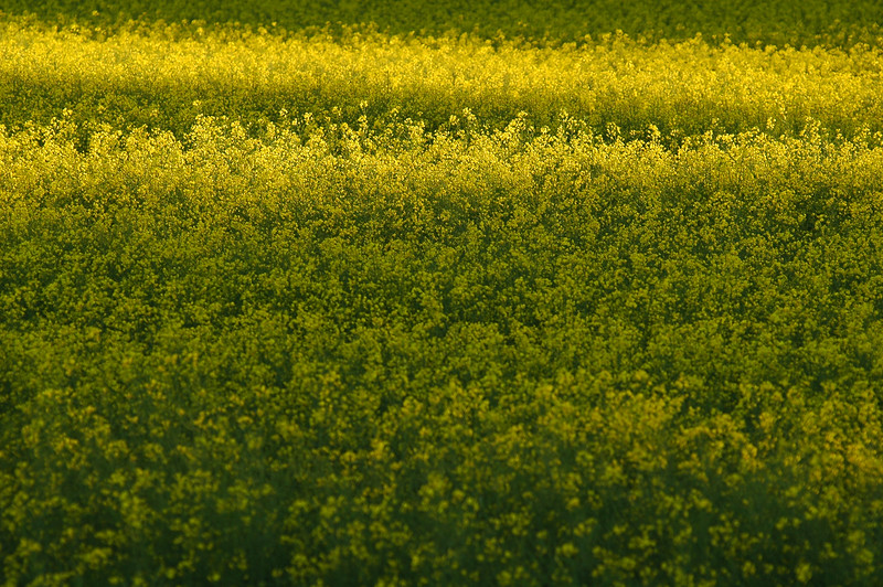 simple yellow field - Stock Photo by Nature Photographer Christina Craft