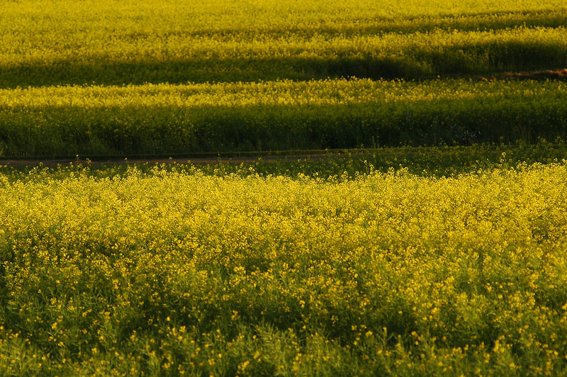 Mustard fields - yellow - Stock Photo by Nature Photographer Christina Craft