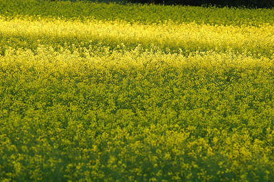 GOlden fields - Stock Photo by Nature Photographer Christina Craft