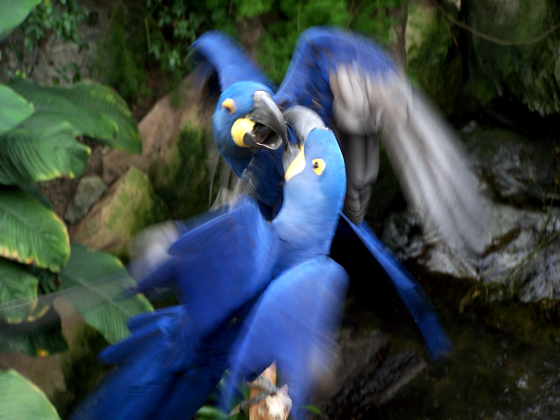 Hyacinth Macaws - kissing<br /> Professional Wildlife Photography by Christina Craft of the Nature Stock Photography Library