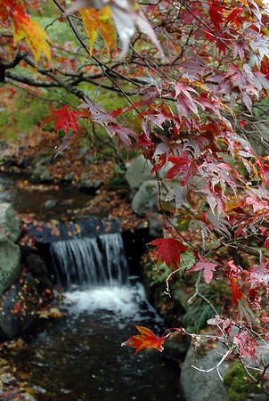 Japanese maple leaves fall on a waterfall in autumn