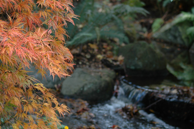 Japanese Maple Tree - Nature Stock Photography by Professional Nature Photographer Christina Craft