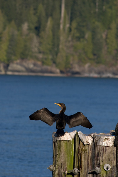 The Brandt's Cormorant (Phalacrocorax penicillatus) is a strictly marine bird (also called shag) of the cormorant family of seabirds that inhabits the Pacific coast of North America. It ranges, in the summer, from Alaska to the Gulf of California, but the population north of Vancouver Island migrates south during the winter. Its specific name, penicillatus is Latin for a painter's brush (pencil of hairs), in reference to white plumes on its neck and back during the early breeding season. The common name honors the Russian naturalist Johann Friedrich von Brandt of the Academy of Sciences at St. Petersburg, who described the species from specimens collected on expeditions to the Pacific during the early 1800s.<br /> <br /> Brandt's Cormorants feed either singly or in flocks, and are adaptable in prey choice and undersea habitat. It feeds on small fish from the surface to sea floor, obtaining them, like all cormorants, by pursuit diving using its feet for propulsion. Prey is often what is most common: in central California, rockfish from the genus Sebastes is the most commonly taken, but off British Columbia, it is Pacific Herring. Brandt's Cormorant have been observed foraging at depths of over 40 feet.<br /> <br /> <br /> <br /> <br /> The Nature Stock Photography Library features rights managed and royalty free wildlife, nature, travel stock photography and licenses for stock photos. We also sell high quality fine art nature prints and photo products. All images are by professional wildlife and nature photographer Christina Craft.