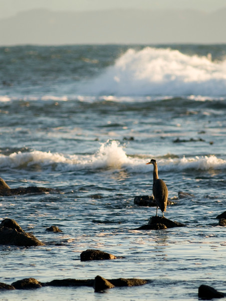 A great blue heron looks on at sunset - standing on rocks - waves crashing along the shoreline<br /> <br /> The Nature Stock Photography Library features rights managed and royalty free wildlife, nature, travel stock photography and licenses for stock photos. We also sell high quality fine art nature prints and photo products. All images are by professional wildlife and nature photographer Christina Craft.