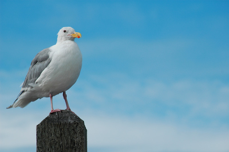 a seagull against a bright blue sky<br /> Professional Wildlife Photography by Christina Craft of the Nature Stock Photography Library