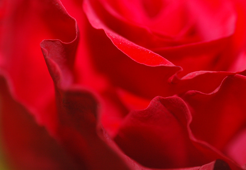 Red Rose closeup with shallow depth of field<br /> <br /> Professional Nature Photography by Christina Craft of the Nature Stock Photography Library