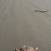 Beach on the westcoast - a crab