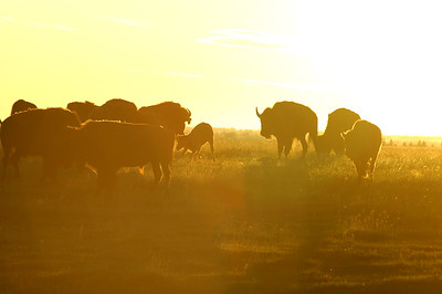 Bison at sunrise or sunset - silhouetted - herd Stock Photo by Nature Photographer Christina Craft
