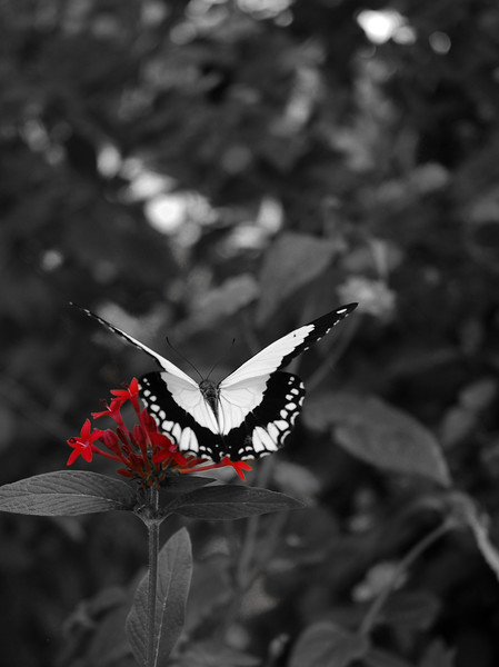 Butterfly - selective saturation<br /> Professional Nature Photography by Christina Craft of the Nature Stock Photography Library