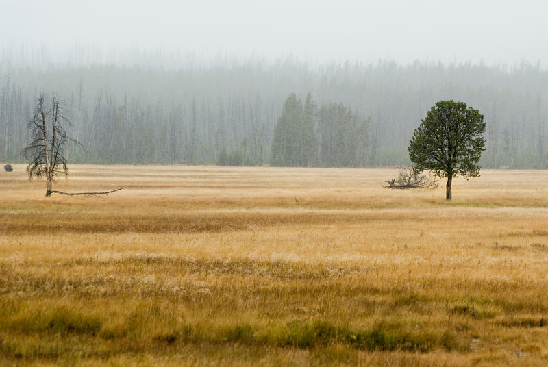 A single tree in a yellow meadow in autumn - first snow arrives