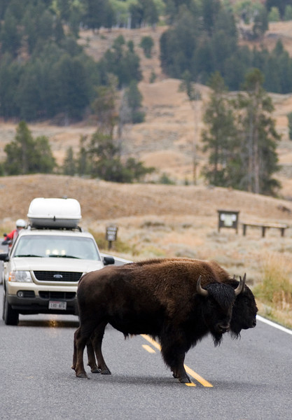 American Bison Stopping Traffic 2