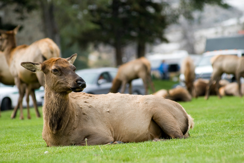 A female doe elk sits within a herd