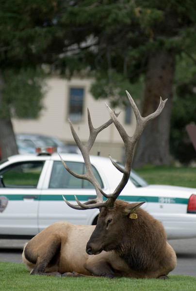 A male buck elk sleeps outside of the ranger station in Yellowstone National Park